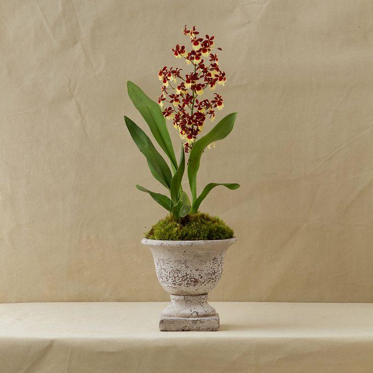 TERRAIN GIFT PICK: The Oncidium Orchid #giftsandgreens #shopterrain