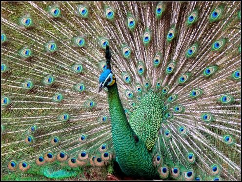 Peacock Predators | The Amazing Peacock (Facts and Photos)