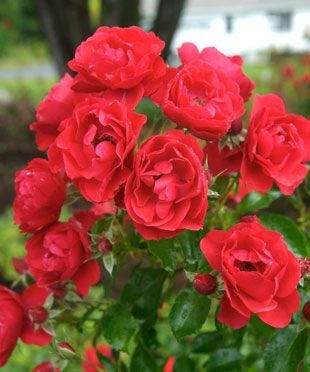 1000 images about roses 2016 on pinterest scarlet for Low maintenance fall flowers