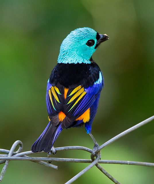 7 color bird known as Seven-colored Tanager is a brilliantly colored small bird with a turquoise green head, bright blue underparts, a black back, and bright orange lower back and rump. Within its restricted range in northeastern Brazil..RB