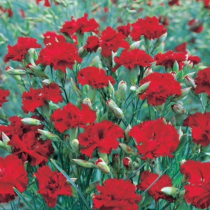 85 best images about dianthus on pinterest punch dianthus barbatus and flower. Black Bedroom Furniture Sets. Home Design Ideas