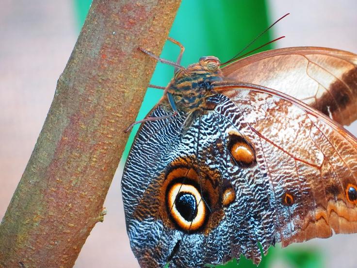 Mariposa Buho 2