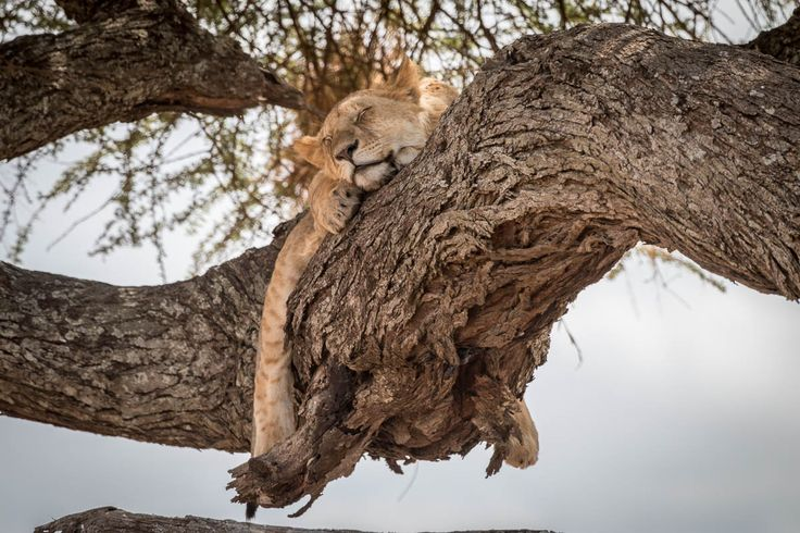 Nach fünf langen und staubigen Safaritagen in der Serenget mit phantastischen Sightings machen wir es diesem jungen Löwen in der Serengeti nach: ausruhen und abhängen.