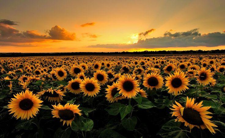 sunflower, photography, yellow, sunset,