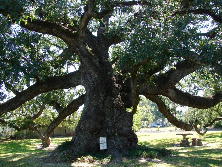 Calcasieu Parish: The Sallier Oak, one of Louisiana's oldest and largest trees. / by Sandra Scott