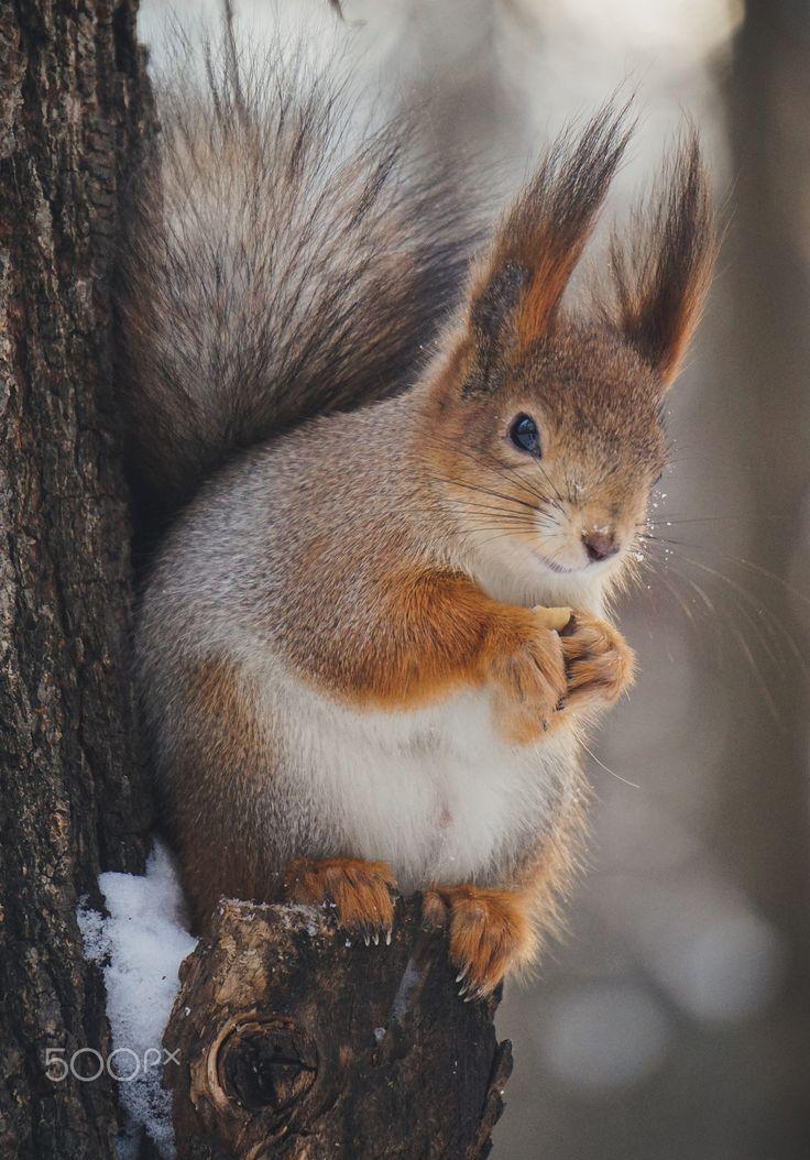 Squirrel - In the Neskuchny Garden, Moscow, Russia