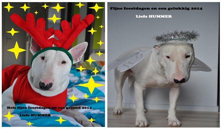 Stemt u ook op mij bij de fotowedstrijd van Dezzie  http://www.dezzie.nl/index.php/fotowedstrijd/inzendingen kerst hond  - Christmas dog  Hummer de kerst bull terrier