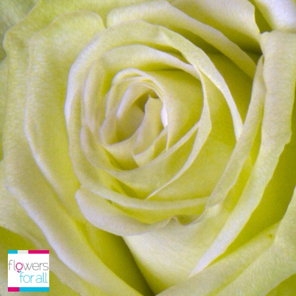 Hope, youth and equilibrium, some of the messages that these green roses will help you express. Find them at Flowersforall.com.