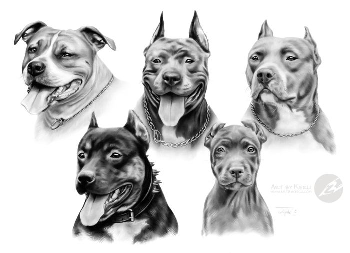 """""""Gang of five"""" - pitbull & amstaff graphite pencil drawing by Kerli Toode 