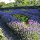 Voortuin Zwolle 2e jaar na aanleg rozen-lavendel-alchemilla