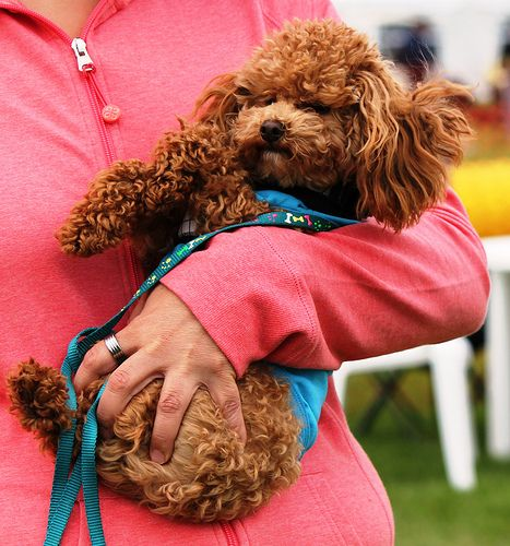 Toy Poodle! Gimme gimme gimme!!!!!