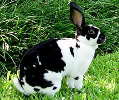 Broken Black | Mini Rex Rabbits | Pinterest