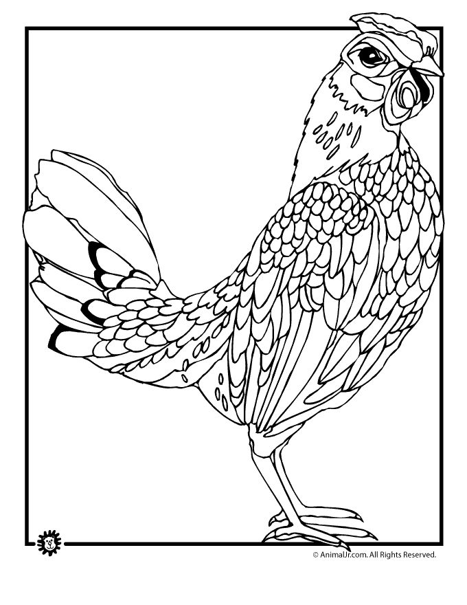 Chicken Coloring Pages Realistic Page Animal Jr