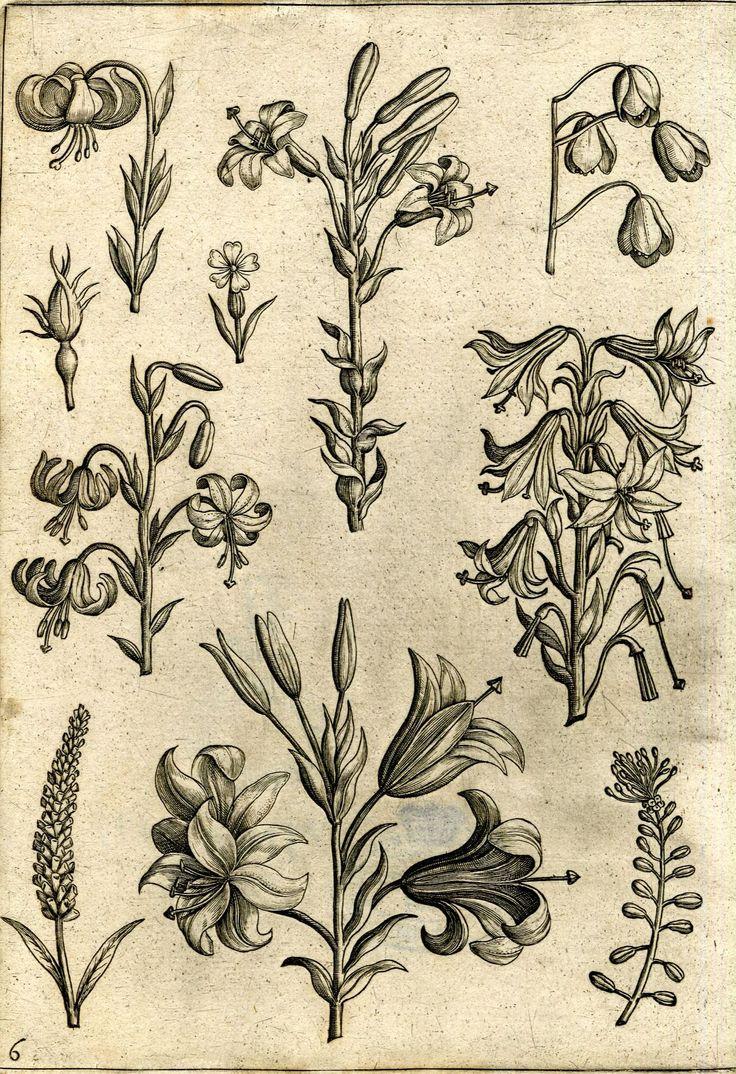 Lilies, from Adriaen Collaert's Florilegium, Antwerp, 1590, 555.d.23.(3.), pl. 6.