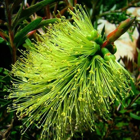 """Any Bottlebrush Tree is amazing, but this one has chartreuse blooms. A dense 3' shrub native to Australia, it starts flowering in late winter, and the spectacle lasts for months. Silky, 6"""" flower spik"""