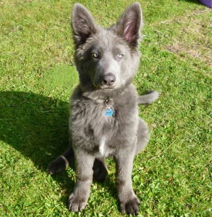 This is a blue German Shepherd. Isn't she beautiful?