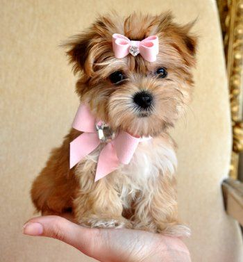 Teacup Morkie.. How adorable and look at that little bow in her hair and on her collar