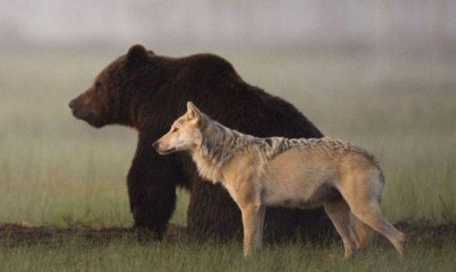 ¡Qué maravilla de fotografías! En ellas podemos disfrutar de esta relación de amistad tan poco habitual que mantienen dos grandes depredadores: un lobo y un oso.