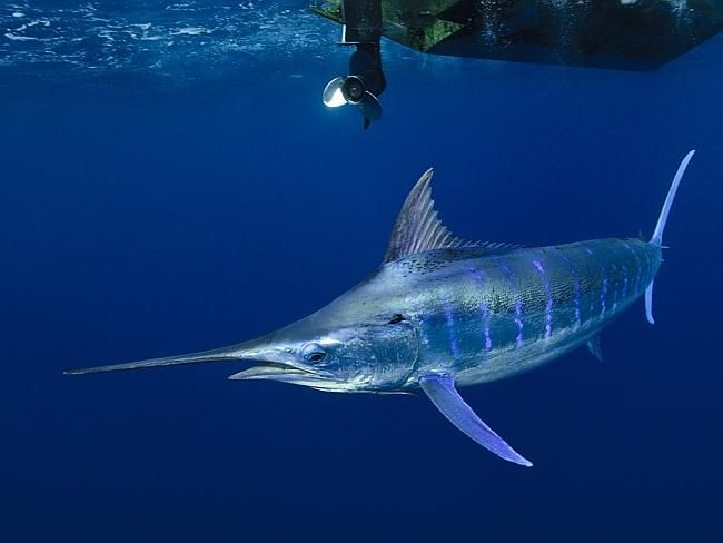 blue marlin. These things are huge!