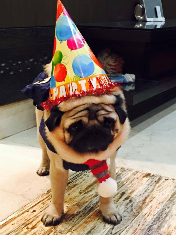 Celebrate your little cutiepie's birthday with us !! Join our Birthday club: http://bit.ly/yourdogsbday #dogs #doglovers #petsbirthday #pugsbirthday #headsupfortails #huft