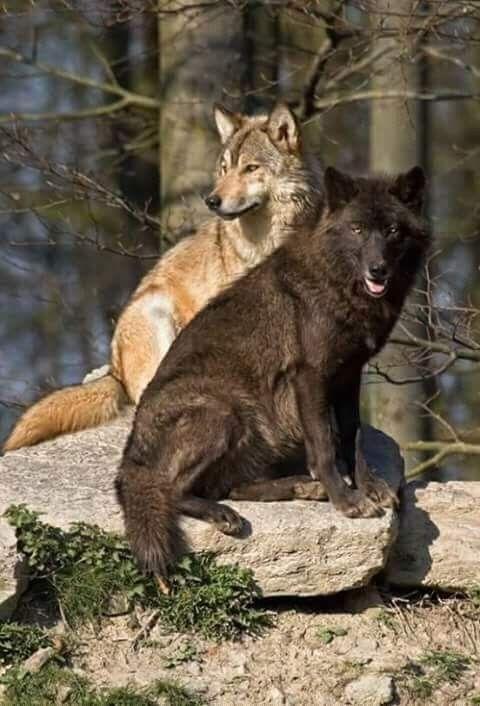 Beautiful Companion Wolves: