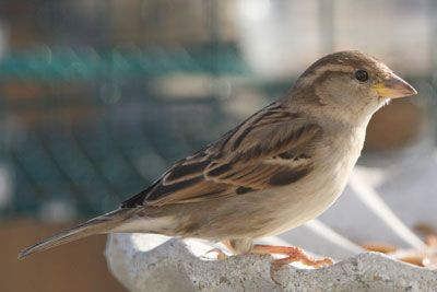 Other Brown Birds: photos of house sparrows, house wrens, house finch, chipping sparrow, cowbird, carolina wren and how to tell them apart
