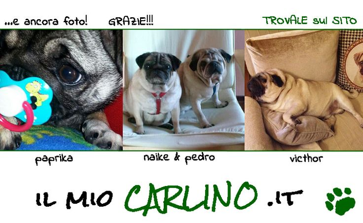 Scopri la più grande raccolta di foto Carline!! www.ilmiocarlino.it/foto_album.htm   Invia le foto del TUO Carlino!  Come? http://www.ilmiocarlino.it/invia-foto.htm #carlino #fotografia #animali #divertimento #cuccioli #carlini