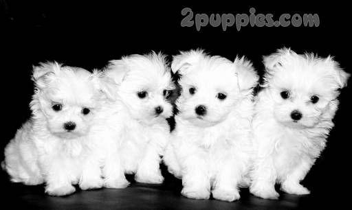 Maltese Maltese Dogs Maltese Dog Breed Puppies