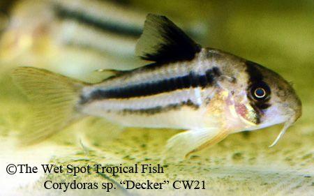 "Corydoras sp ""Decker"" CW21"