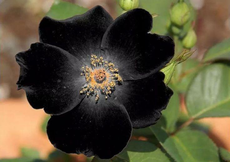 BLACK ROSE 3