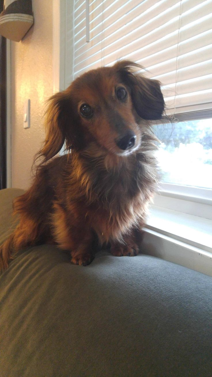 That adorable dachshund head tilt