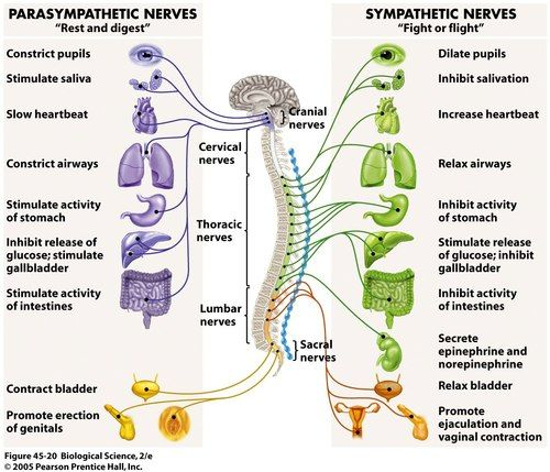 Autonomic Nervous System Parasympathetic vs Sympathetic