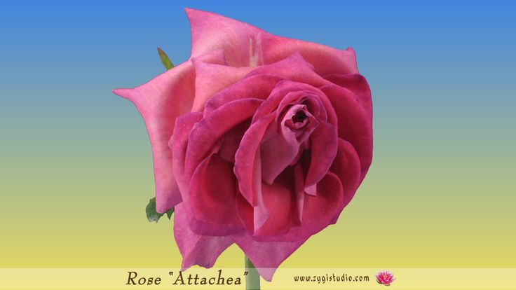 """Dying Pink """"Attachea"""" Rose Time-reverse."""