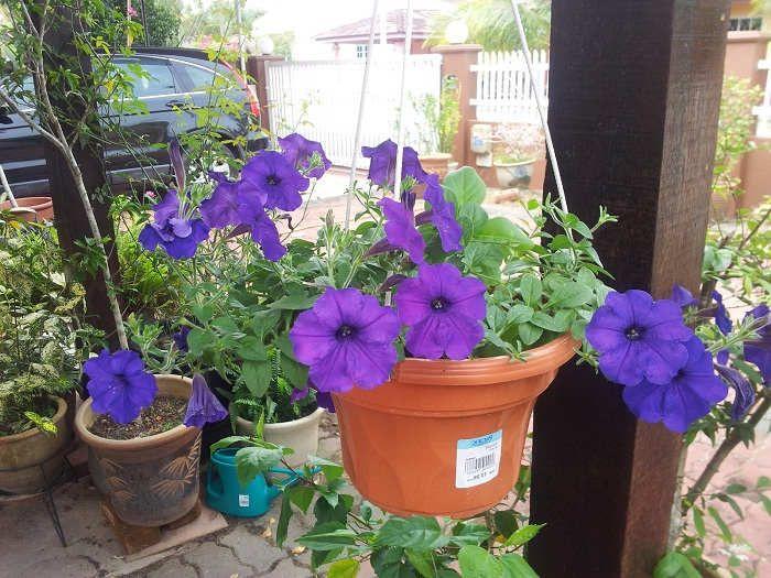 Gambar Cara Menanam Bunga Petunia Gantung
