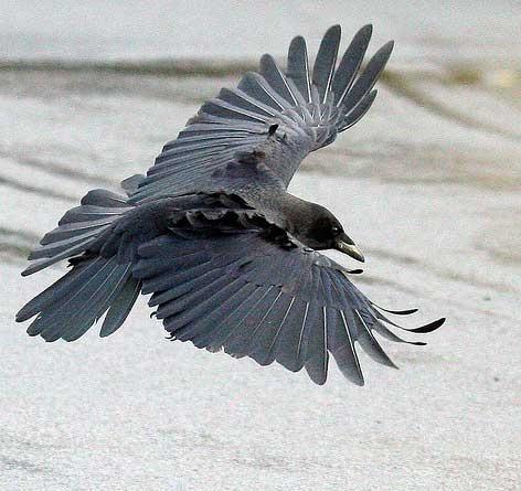 264 besten raben raven kr hen crow bilder auf pinterest raben kr hen und t towierungen. Black Bedroom Furniture Sets. Home Design Ideas
