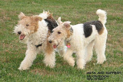scruffy wire haired fox terriers