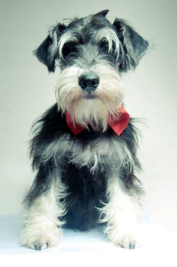 Miniature Schnauzer Cropped Ears Miniature Schnauzer Schnauzer Puppy Schnauzer