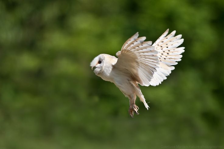 Barnowl by Gianluca Mariani Nature Photographer natura 2.8 on 500px