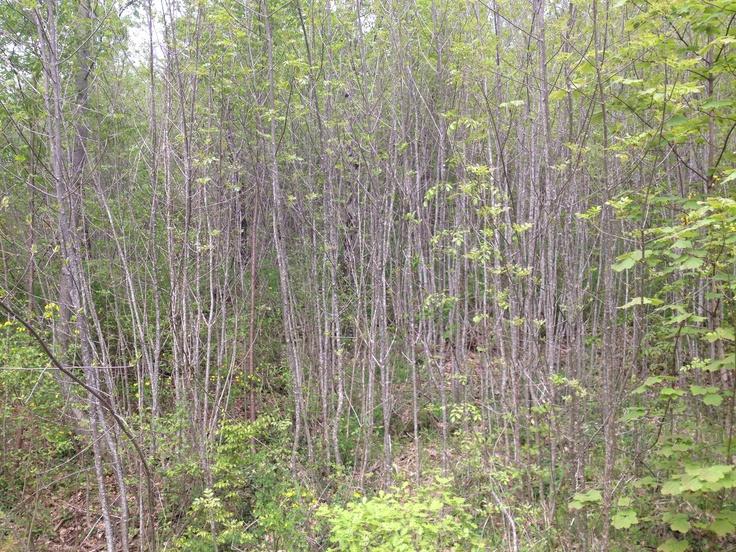 Foresta abruzzese 3 - colledimezzo
