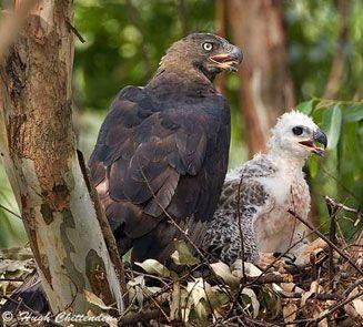Stephanoaetus coronatus (African crowned eagle, Crowned eagle)