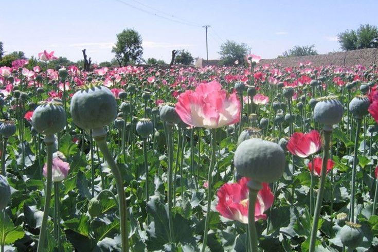 (Papaver somniferum) Afghan Blue opium poppy Seeds!! in Home & Garden, Yard, Garden & Outdoor Living, Plants, Seeds & Bulbs | eBay!