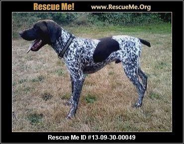 Stryker— Washington German Shorthaired Pointer Rescue — ADOPTIONS —RescueMe.Org
