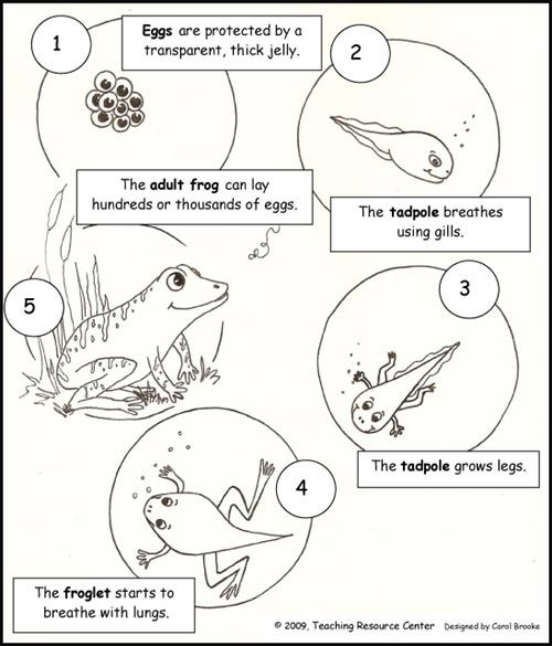 Download our free Life Cycle of a Frog Printout for your kids to decorate or use as an overhead transparency!