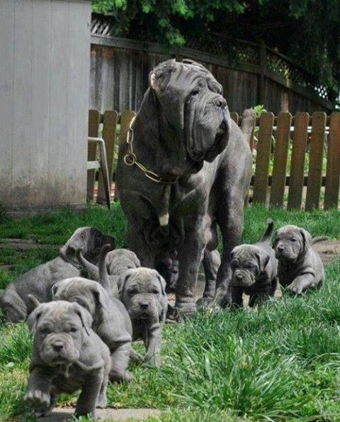 A Neapolitan Mastiff and her new puppies.