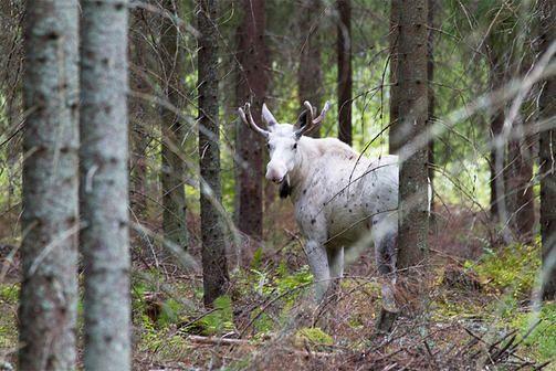 valkoinen hirvi ... a rare albino moose