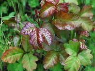 See photos and learn how to identify poison ivy, poison oak and poison sumac in his HGTV Gardens feature. Also see a list of other plants to be cautious around.