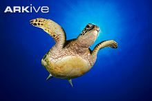 Green turtle, ventral view