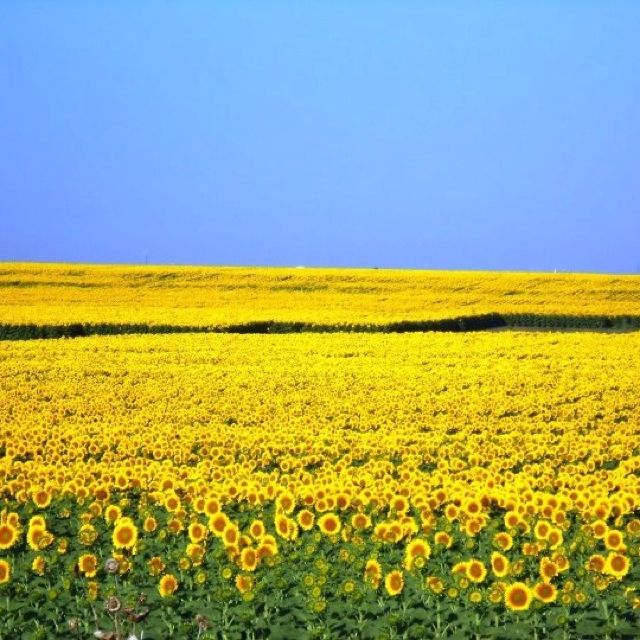 Yes mom, we will have a sunflower field. :-)  Sunflower fields in Waxahachie TX