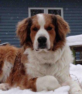 bernese great pyrenees mix - Google Search