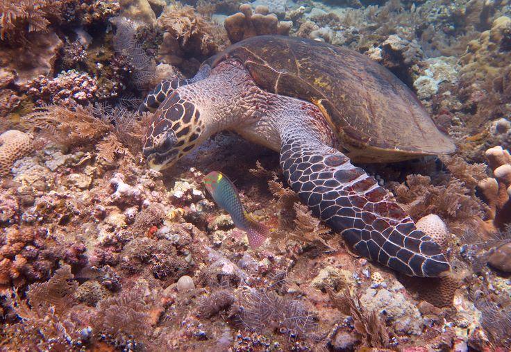 Come and swim with a turtle. Dive in Bali and stay at Villa Tengguli www.villatengguli.com